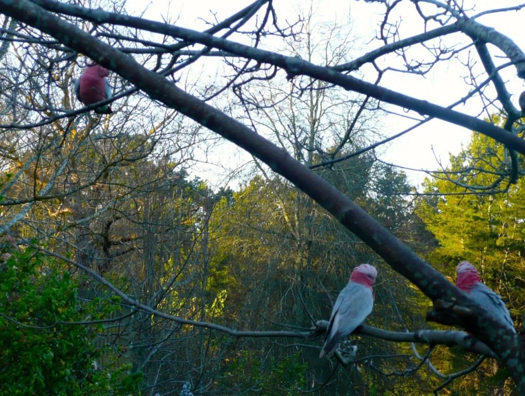 Galahs in the forest